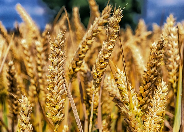 Foods Rich in Omega 3 Fatty Acids for Vegetarians primeproductshub wheat photo